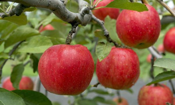 aomori apple 85 01 600px